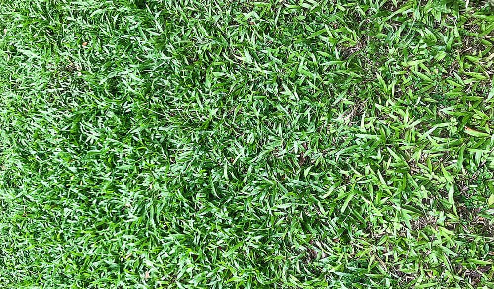 Zoysia grass
