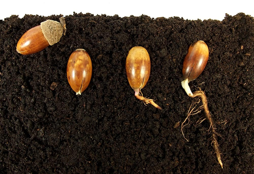acorn germinating and sprouting