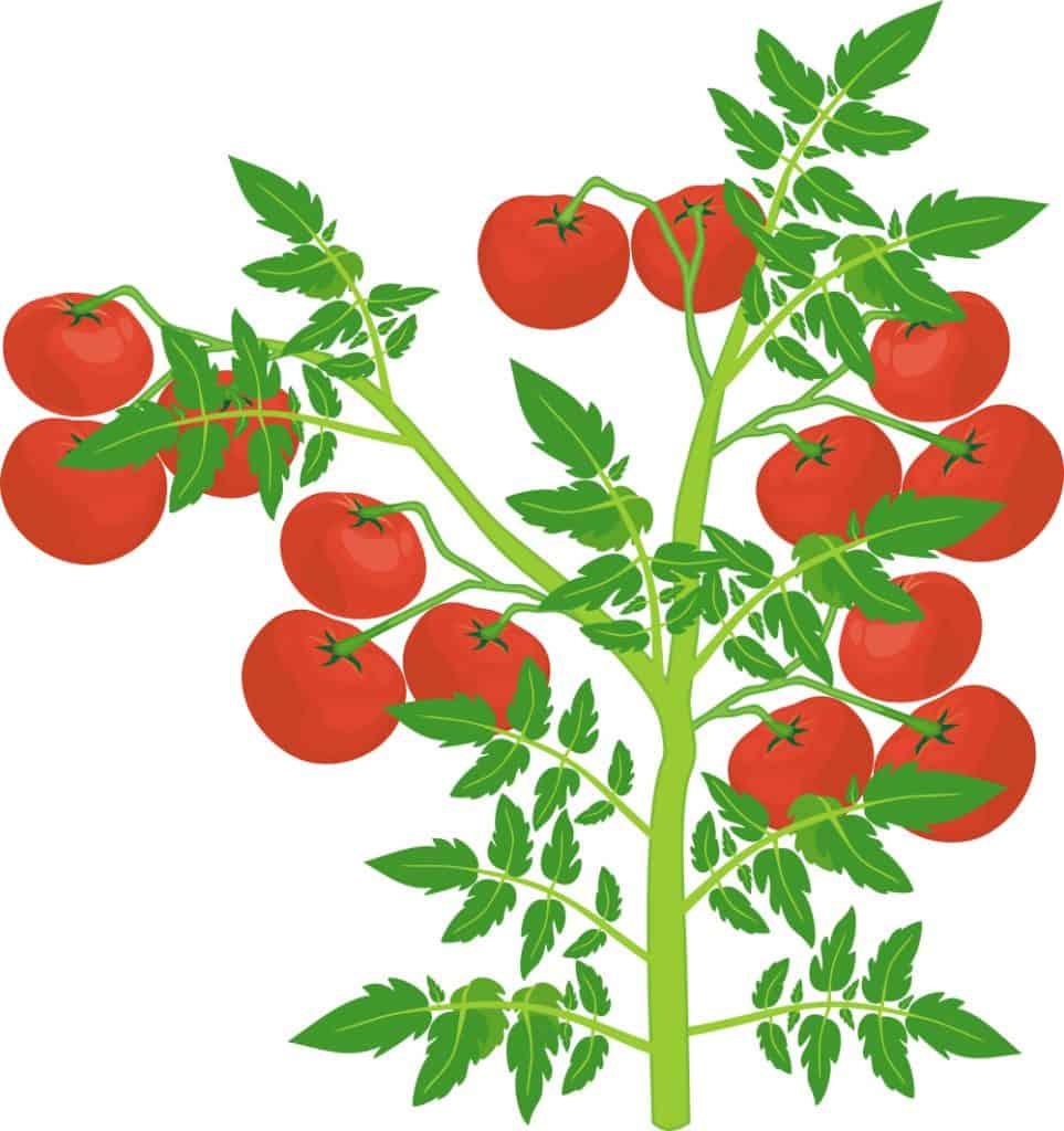 determinate tomato example