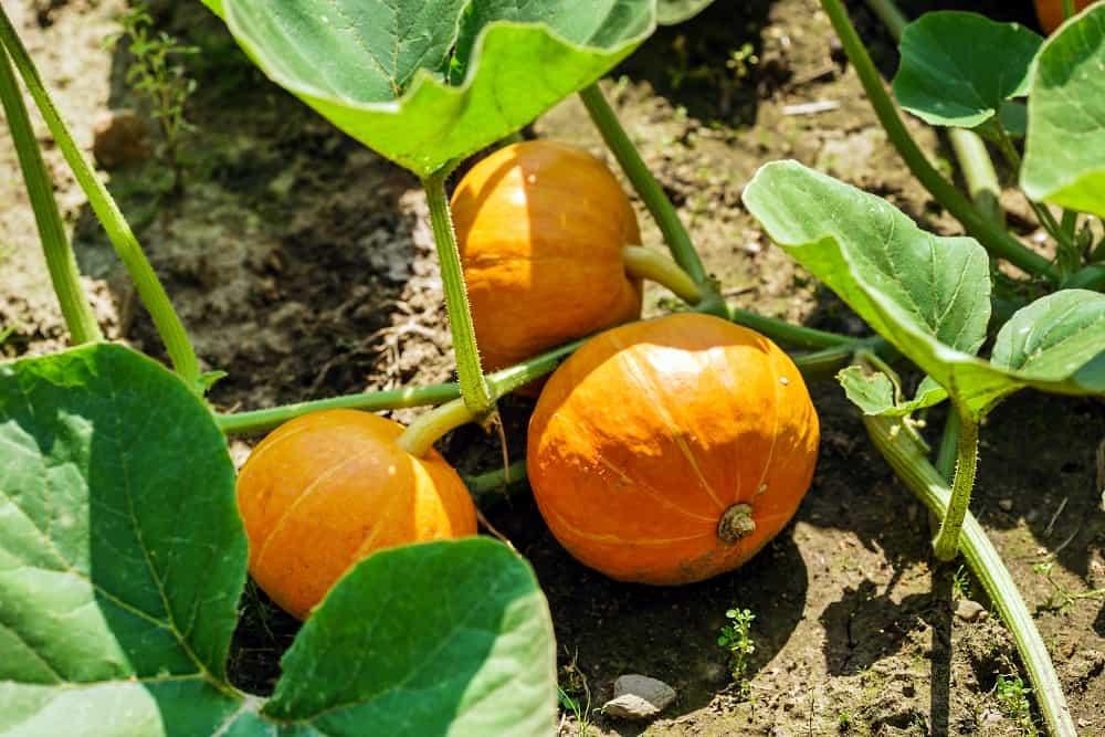 how many pumpkins per plant