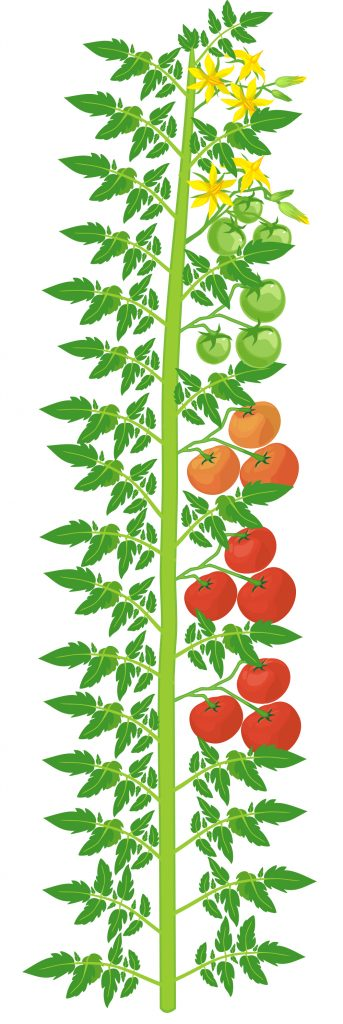 indeterminate tomato example