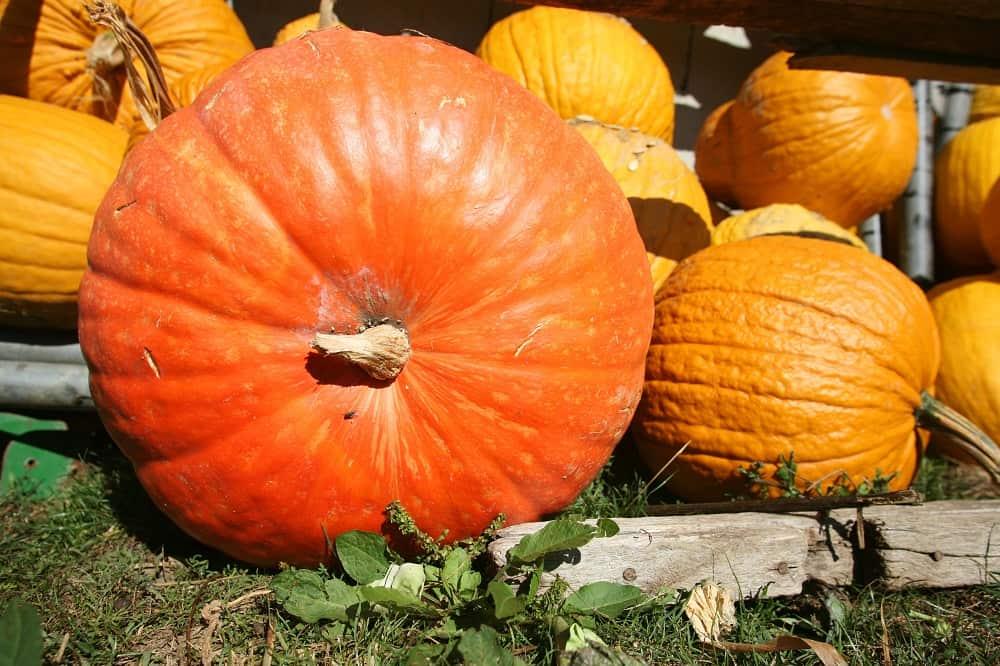 jumbo pumpkin