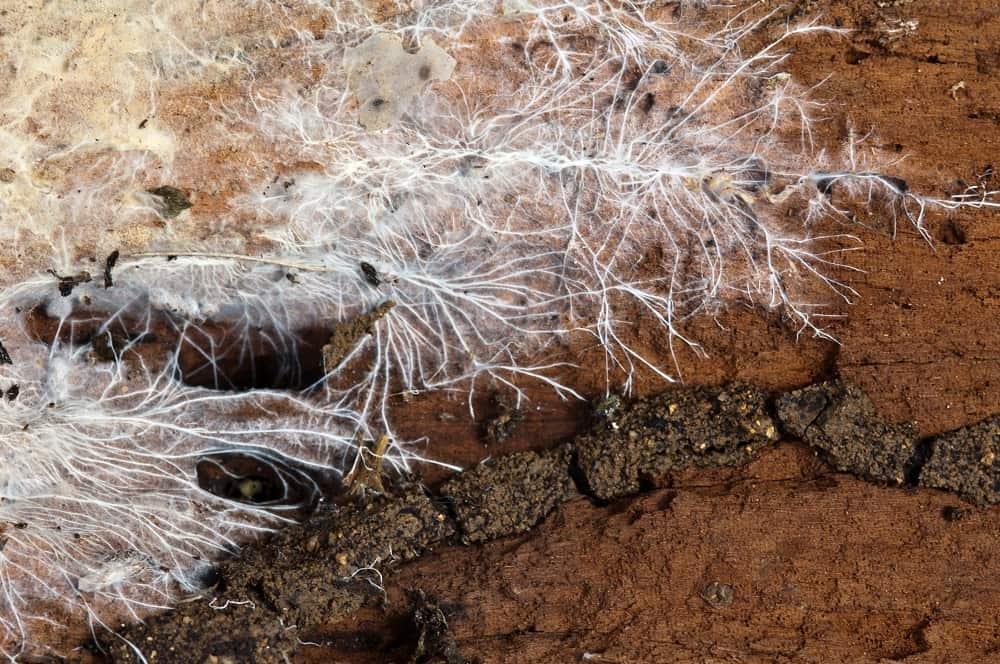 mycelium structure