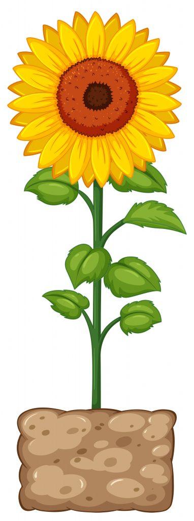 sunflower harvesting stage